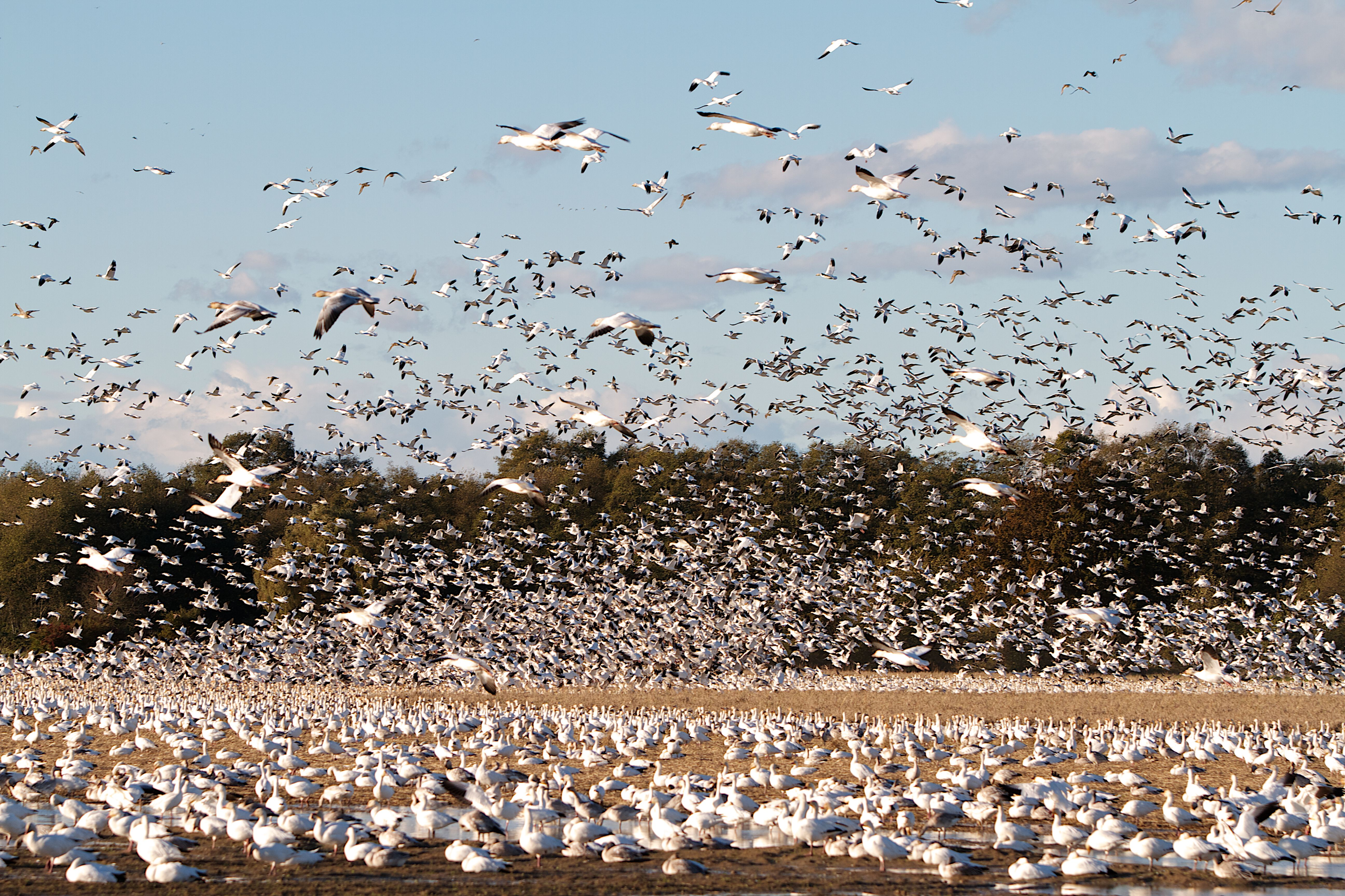 Snow Geese at Westham Island, Photo by Ian Logie